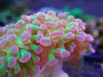 Purple And Green Hammer Coral 1 Scaled 1