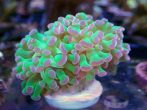 Purple And Green Hammer Coral 2 Scaled 1