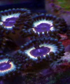 Sonic Flare Zoanthids 1 scaled 1