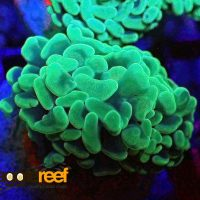 Toxic Branching Hammer Coral Neon Green Euphyllia Sp 1