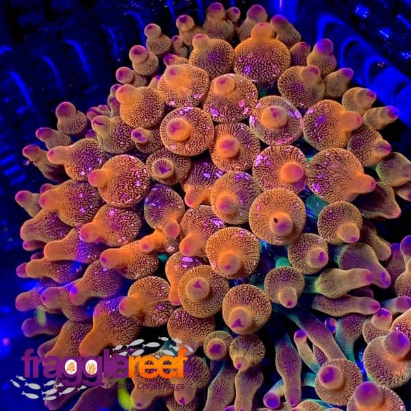 Speckled Rainbow Bubble Tip Anemone