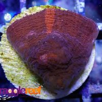 Red and Purple Stripe Chalice Coral