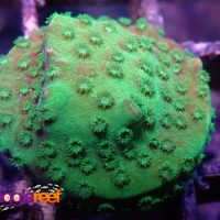 Nuclear Green Cyphastrea