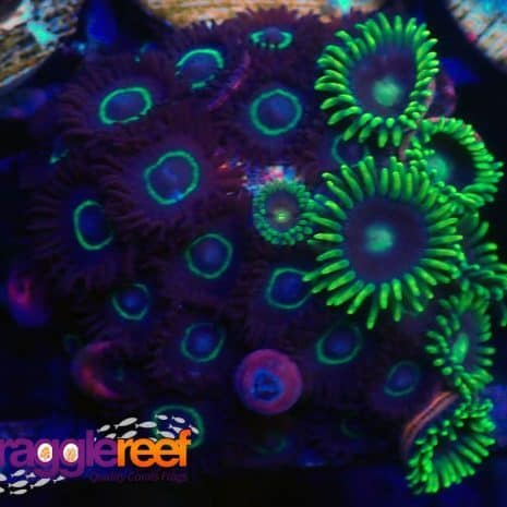 Mixed Zoanthid