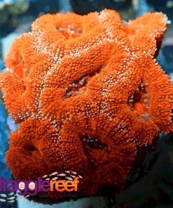 Red Lord Acan Coral