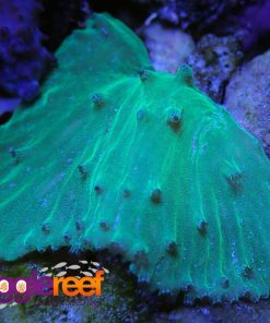 Neon Green Cabbage Leather Coral