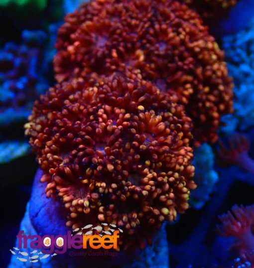 Red Two Tone Gonipora