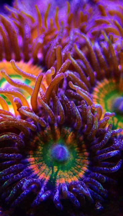 Sunny D Zoanthids